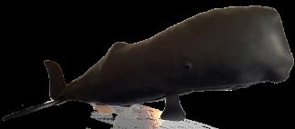 Black leather Sperm Whale