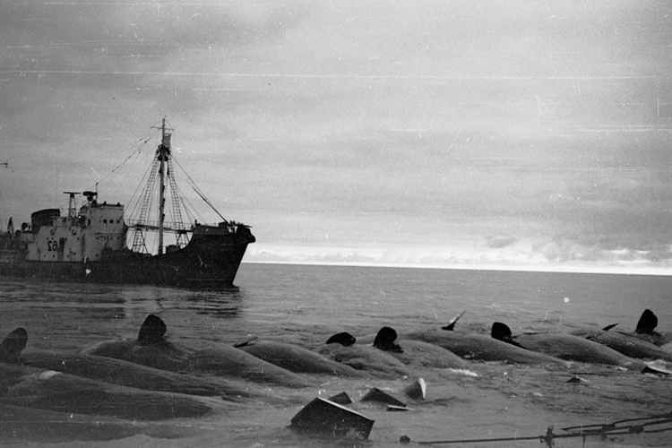 A Soviet catcher boat with dead sperm whales
